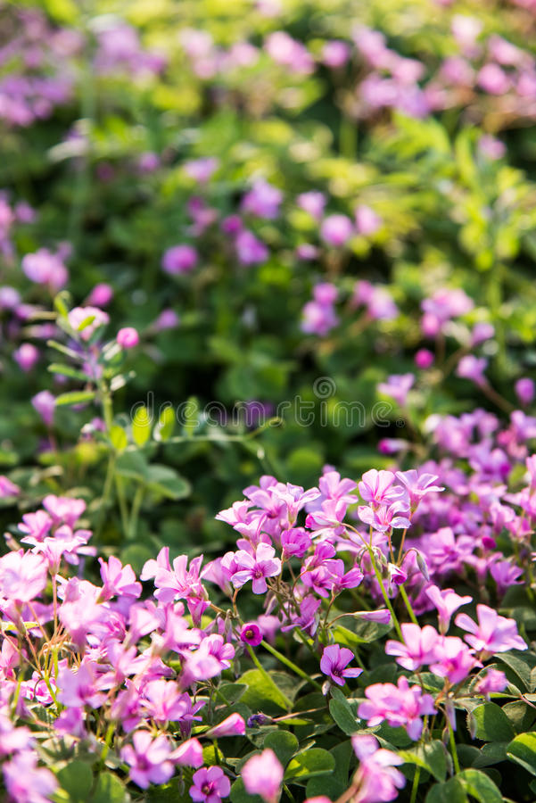 Small Pink flowers royalty free stock image