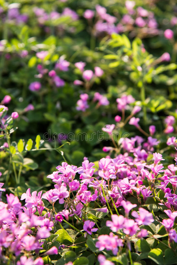 Small Pink flowers royalty free stock photography