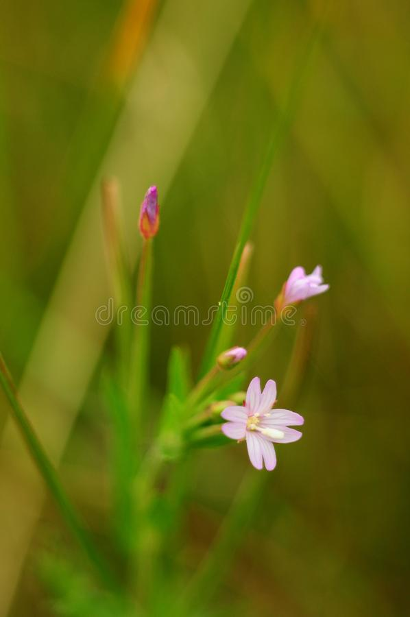 Small pink flowers plants stock photos