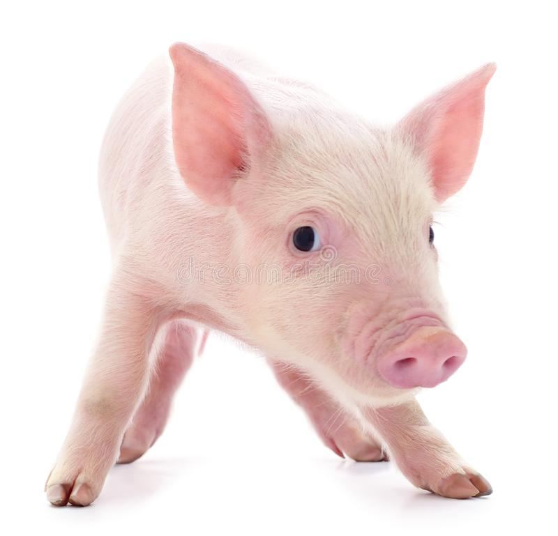 Small pink pig isolated. Small pink pig who is isolated on white background stock photo