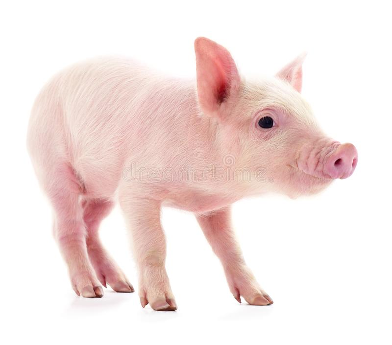 Small pink pig isolated royalty free stock photos