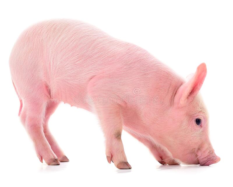 Small pink pig isolated stock photo. Image of farm, studio - 174658610