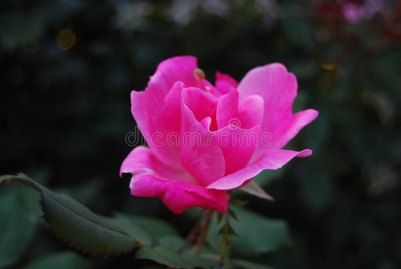 Small pink rose against dark blurred garden background royalty free stock photography
