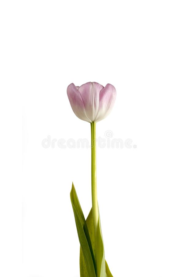 Pink flower on a white background stock photos