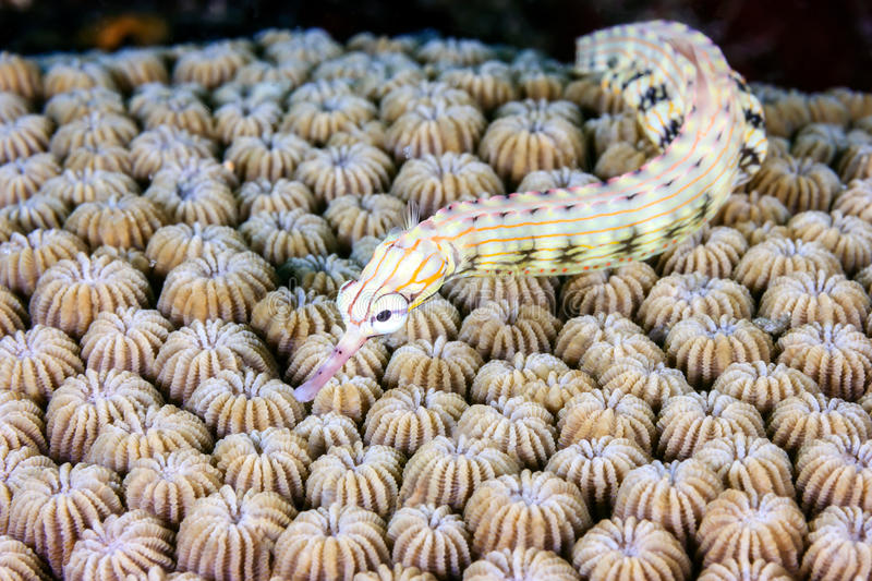 Small pipefish royalty free stock image