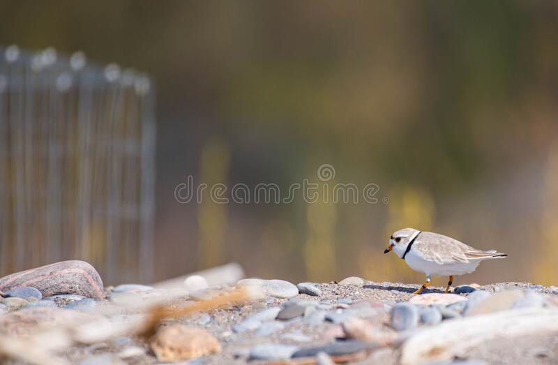 The rare piping plover royalty free stock photography