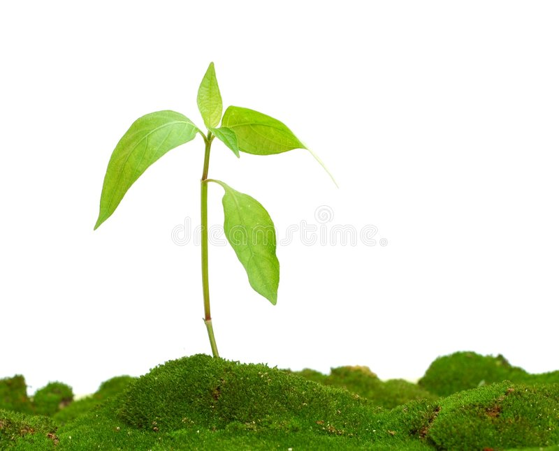 Small Plant. On green moss against white background royalty free stock images