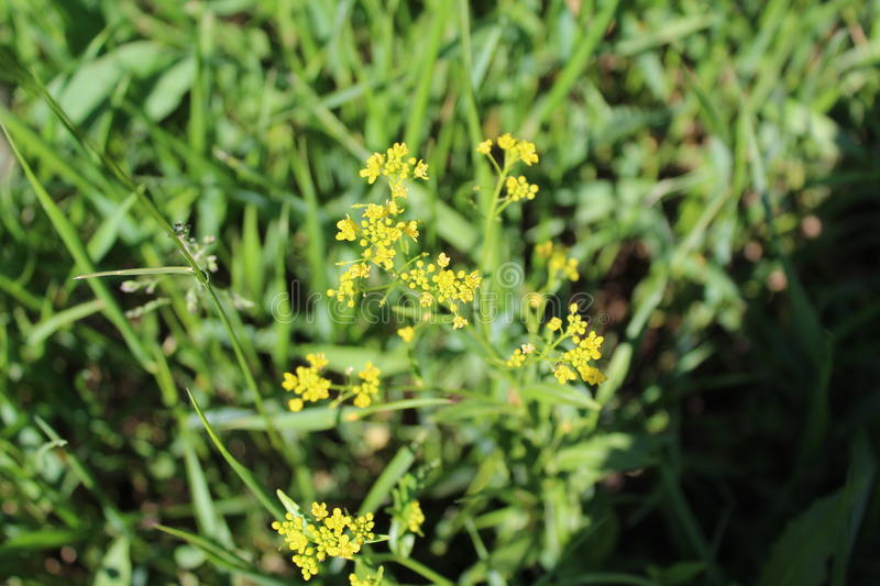 A small plant blooms in tiny yellow flowers. It grows in a field among green grass and surprises everyone with an unusual aroma royalty free stock image