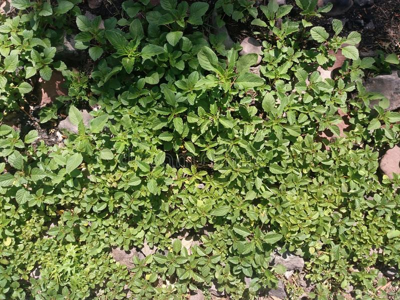 Small plant with green leaves and rocks royalty free stock image