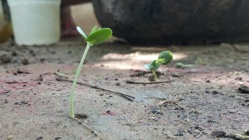 Small plant growing phase amazing to see royalty free stock images