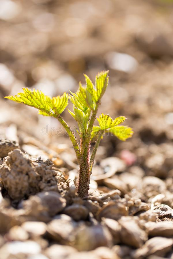 A small plant grows out of the soil in the spring royalty free stock image