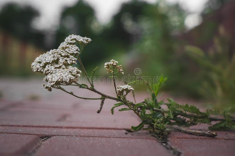 the small plant has broken through between paving slabs and grows stock photo