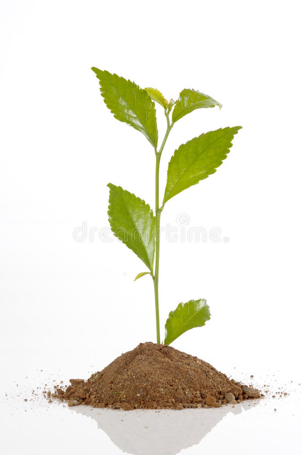 Small Plant Seed. Small plant on the soil, shoot in studio, isolated on white background stock image