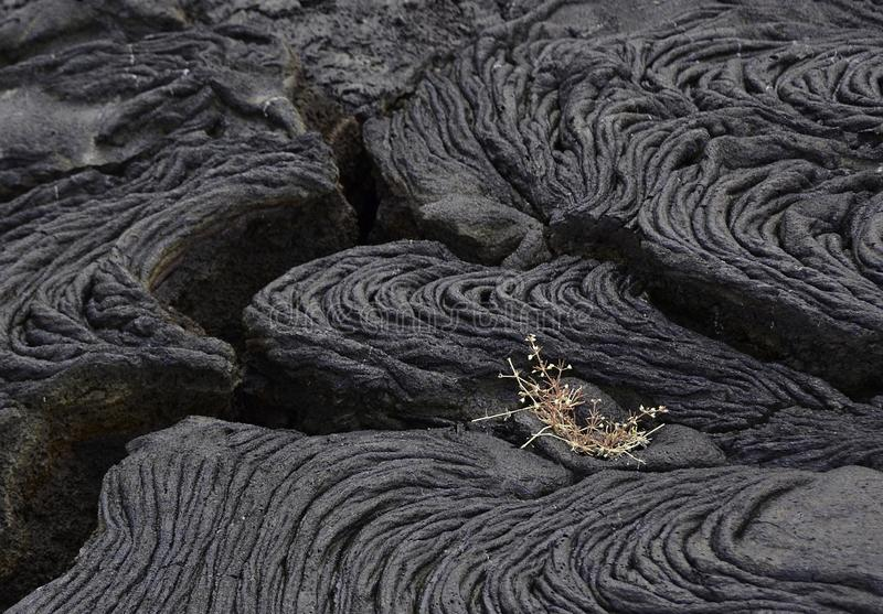 A Small Plant Sprouts in a Lava Field stock photos