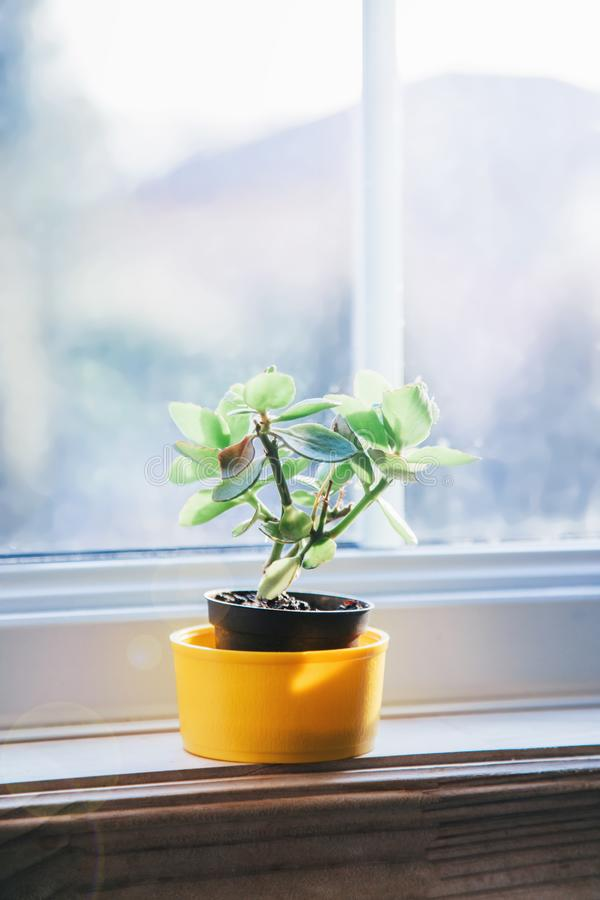 Small plant in yellow pot on window sill stock photos