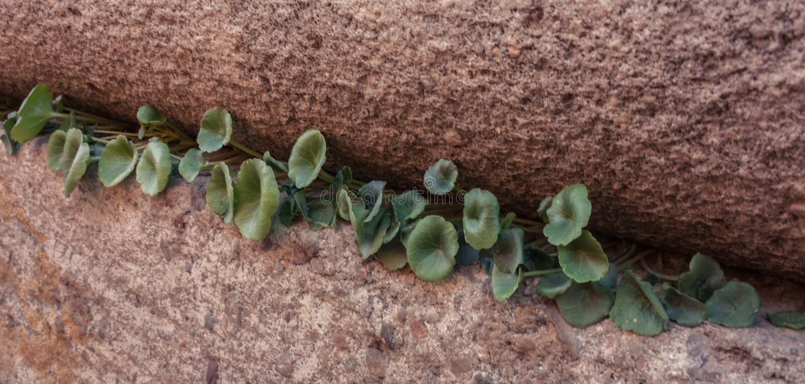 Small plants between stone royalty free stock image