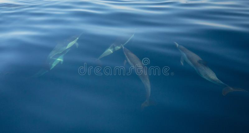 Small pod of five common bottlenosed dolphins swimming underwater near the Channel Islands National Park off California coast USA royalty free stock photos