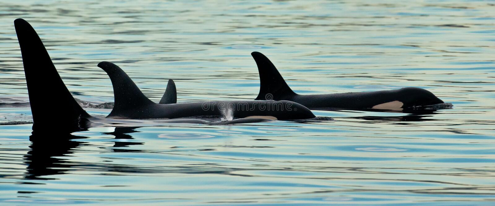 Small Pod of Orcas. Panoramic Composition of a Small Pod of Killer Whales Swimming Together stock image