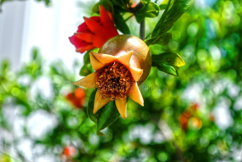 Small pomegranate on a tree. And red flower on tree. Green background royalty free stock photo