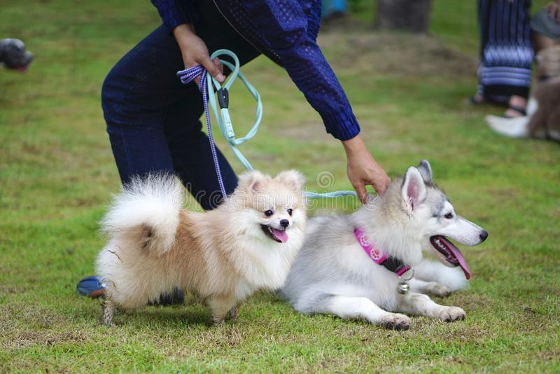 Small pomeranian dog and siberian husky puppy with leash standing on the grass. In dog park royalty free stock photo