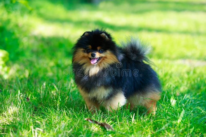 The dog breed pomeranian spitz. The small Pomeranian Spitz stand on green grass royalty free stock photo