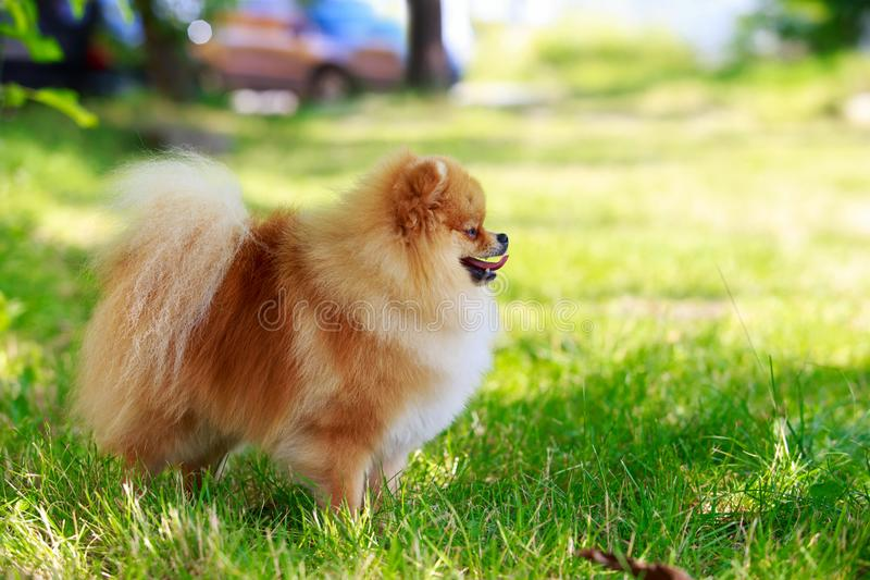 The dog breed pomeranian spitz. The small Pomeranian Spitz stand on green grass royalty free stock image