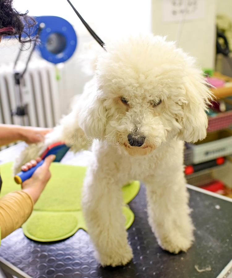 Small poodle at animal hair salon. Person brushing poodle hair at animal beauty salon royalty free stock photography