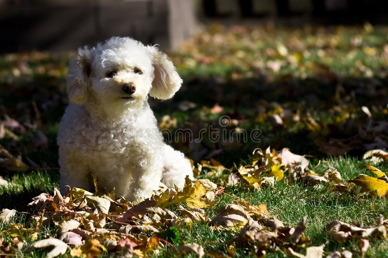 Download Small poodle in autumn 4 stock photo. Image of fuzzy, question - 3689786