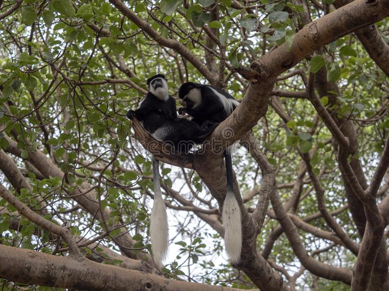Small population, Guereza colobus, Colobus guereza, lives on Lake Awassa, Ethiopia. A small population, Guereza colobus, Colobus guereza, lives on Lake Awassa stock photography