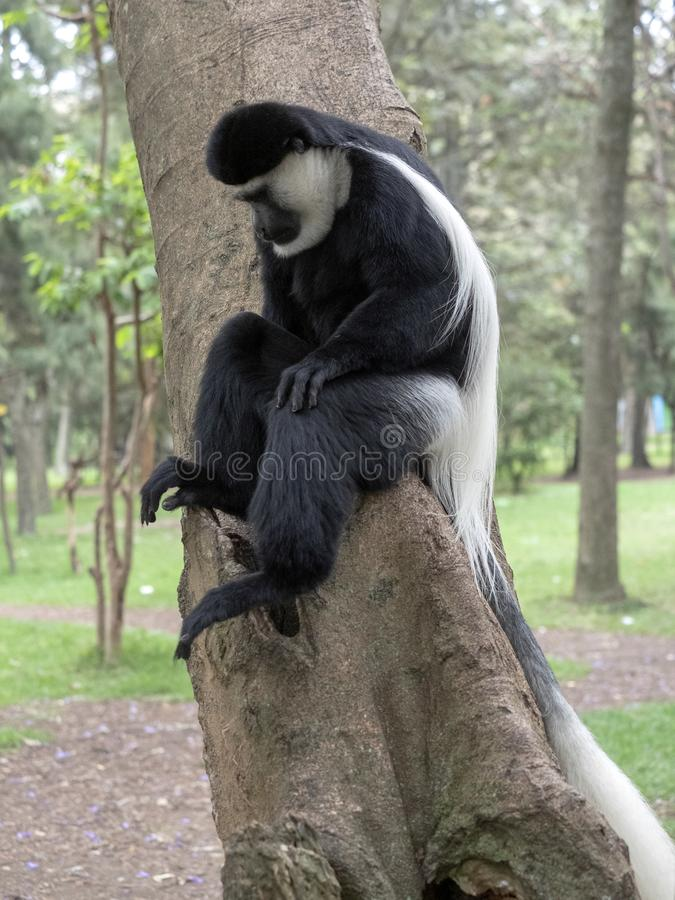 Small population, Guereza colobus, Colobus guereza, lives on Lake Awassa, Ethiopia. A small population, Guereza colobus, Colobus guereza, lives on Lake Awassa royalty free stock photos