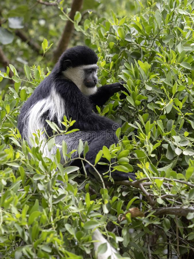 Small population, Guereza colobus, Colobus guereza, lives on Lake Awassa, Ethiopia. A small population, Guereza colobus, Colobus guereza, lives on Lake Awassa royalty free stock images
