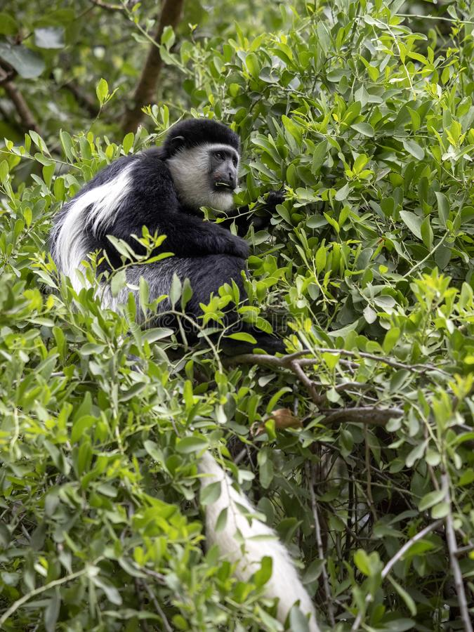 Small population, Guereza colobus, Colobus guereza, lives on Lake Awassa, Ethiopia. A small population, Guereza colobus, Colobus guereza, lives on Lake Awassa stock photo