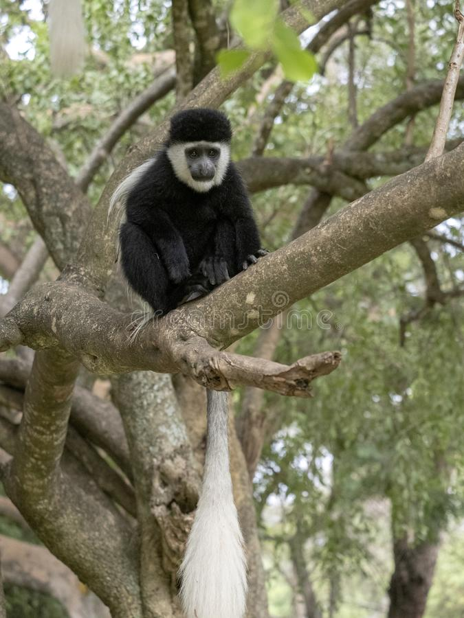 Small population, Guereza colobus, Colobus guereza, lives on Lake Awassa, Ethiopia. A small population, Guereza colobus, Colobus guereza, lives on Lake Awassa stock image