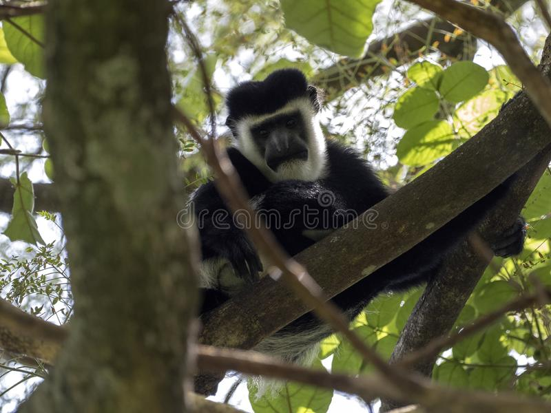 Small population, Guereza colobus, Colobus guereza, lives on Lake Awassa, Ethiopia. A small population, Guereza colobus, Colobus guereza, lives on Lake Awassa royalty free stock image
