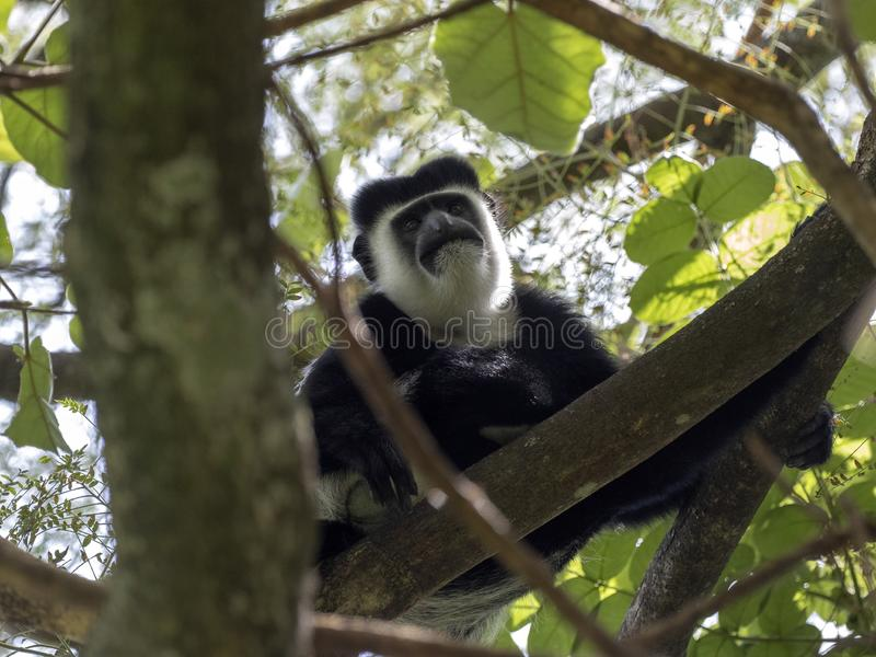 Small population, Guereza colobus, Colobus guereza, lives on Lake Awassa, Ethiopia. A small population, Guereza colobus, Colobus guereza, lives on Lake Awassa royalty free stock photo