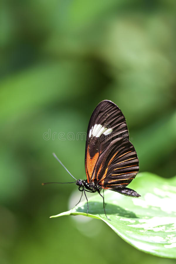 Small Postman Butterfly Royalty Free Stock Photo