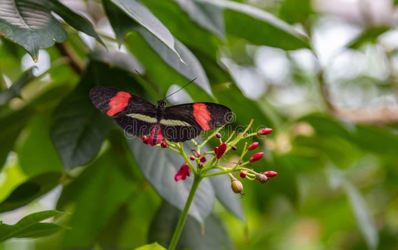 Small postman Heliconius erato butterfly feeding stock photo