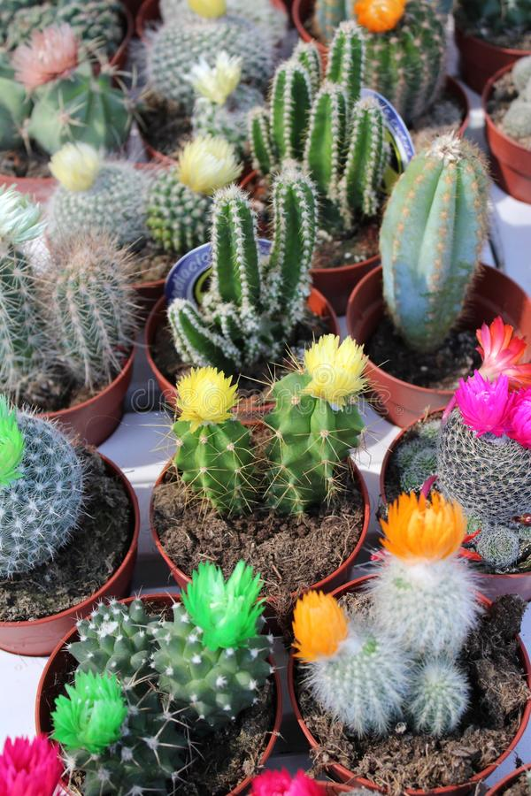 Small pots with cactus royalty free stock image