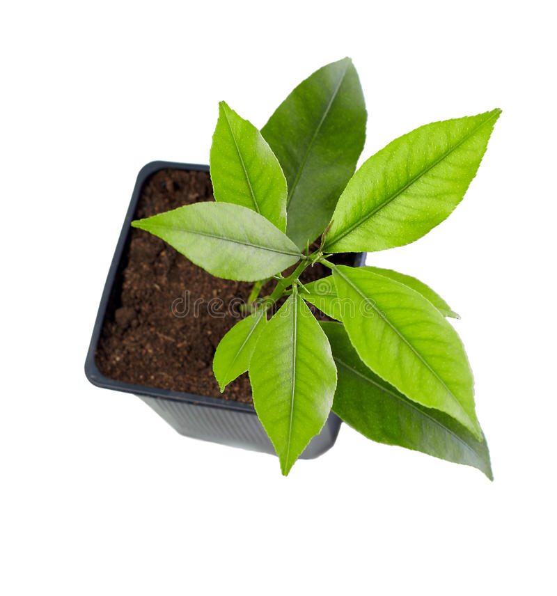 Small potted citrus tree plant, isolated on white.  royalty free stock images