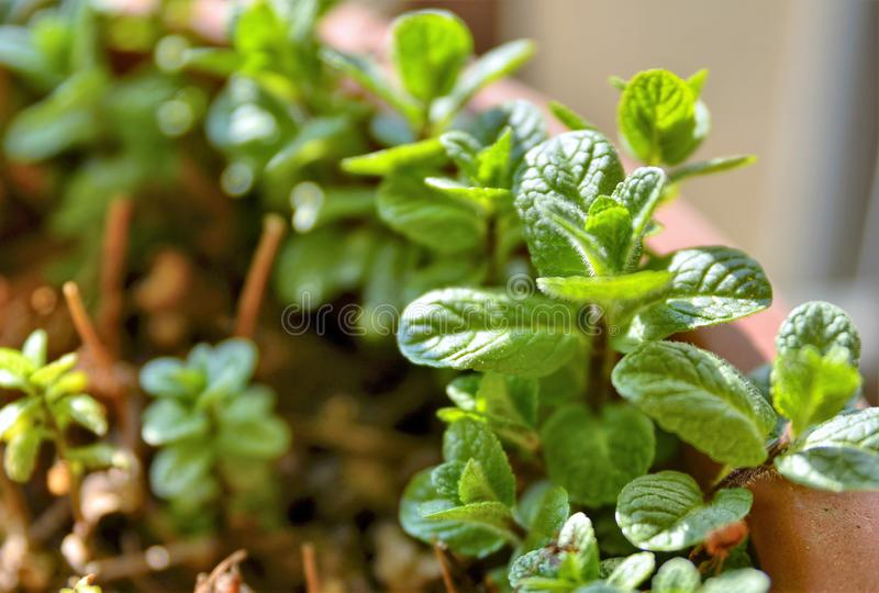 Small potted mint plants. The winter sun has a yellowish light that illuminates the scene. A slight breeze makes the leaves move royalty free stock images