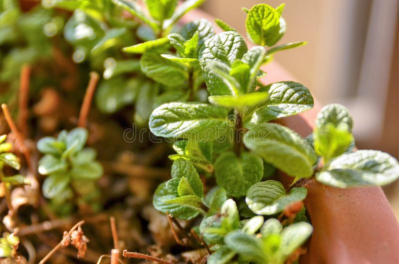 Small potted mint plants. The winter sun has a yellowish light that illuminates the scene. A slight breeze makes the leaves move stock images