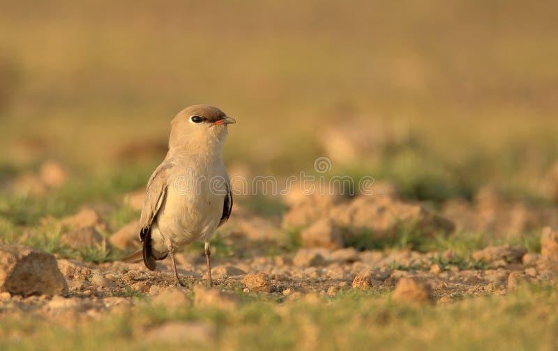 Small pratincole bird. royalty free stock image