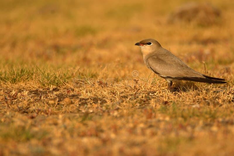 Small pratincole bird. royalty free stock photos