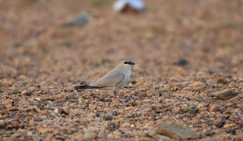 Small pratincole bird stock images