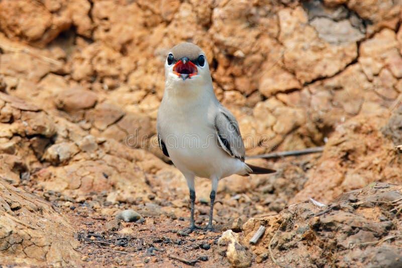 Small Pratincole Glareola lactea Beautiful Birds of Thailand stock image
