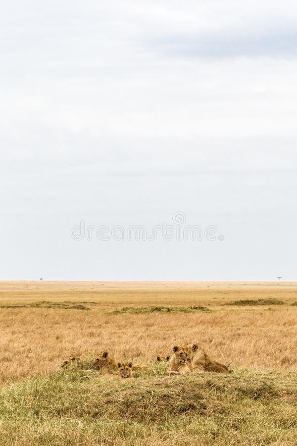 A small pride of lions is resting in the savannah. Masai Mara, Africa stock photos