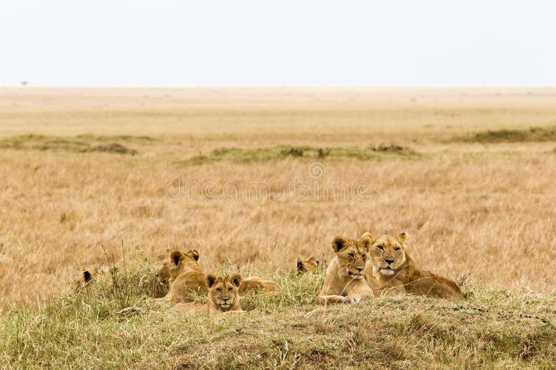 A small pride of young lions is resting in the savannah. Masai Mara, Africa stock photography
