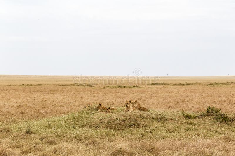 A small pride of young lions in the savannah. Masai Mara, Africa stock photos