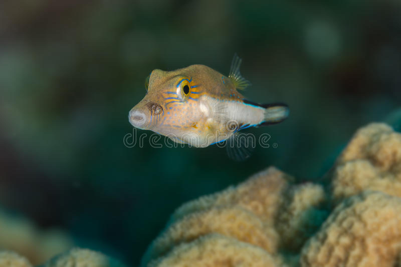 Small puffer fish stock photos
