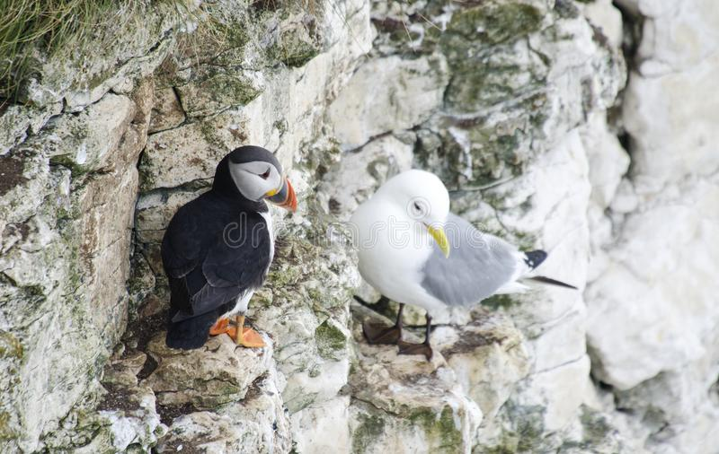 Small Puffin on a Cliff Edges. Single Puffins sitting in the grass on a cliff edge royalty free stock image